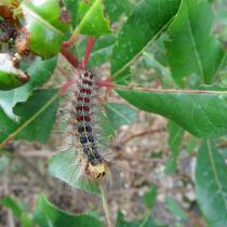 Gypsy moth caterpillar eating leaves
