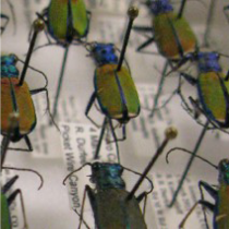 Pinned Beetles