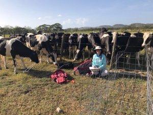 Cows at LAJA site, Puerto Rico