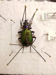 Pinned ground beetle from the ORNL field site