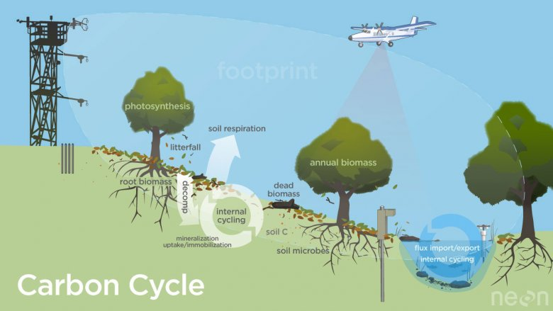 Diagram of the carbon cycle at a NEON site