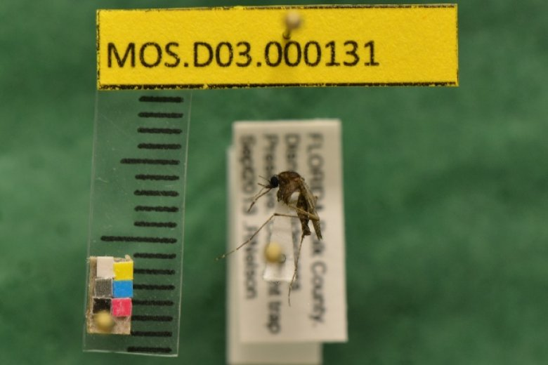 Archived pinned mosquito sample of Mansonia titillans