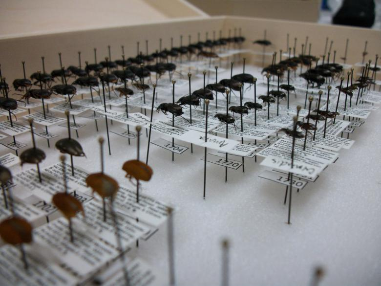 Beetle collection from beetle sampling
